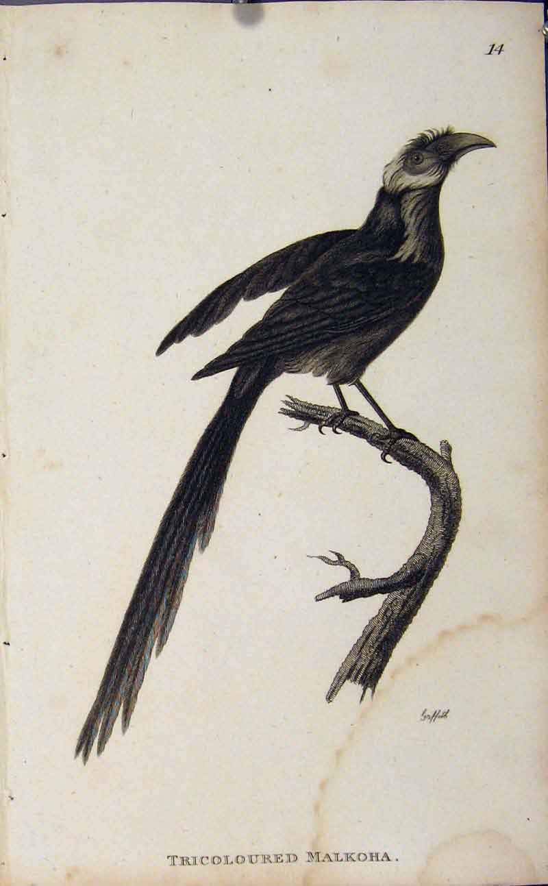 Print Tricoloured Malkoha Engraved Bird Art 166631 Old Original