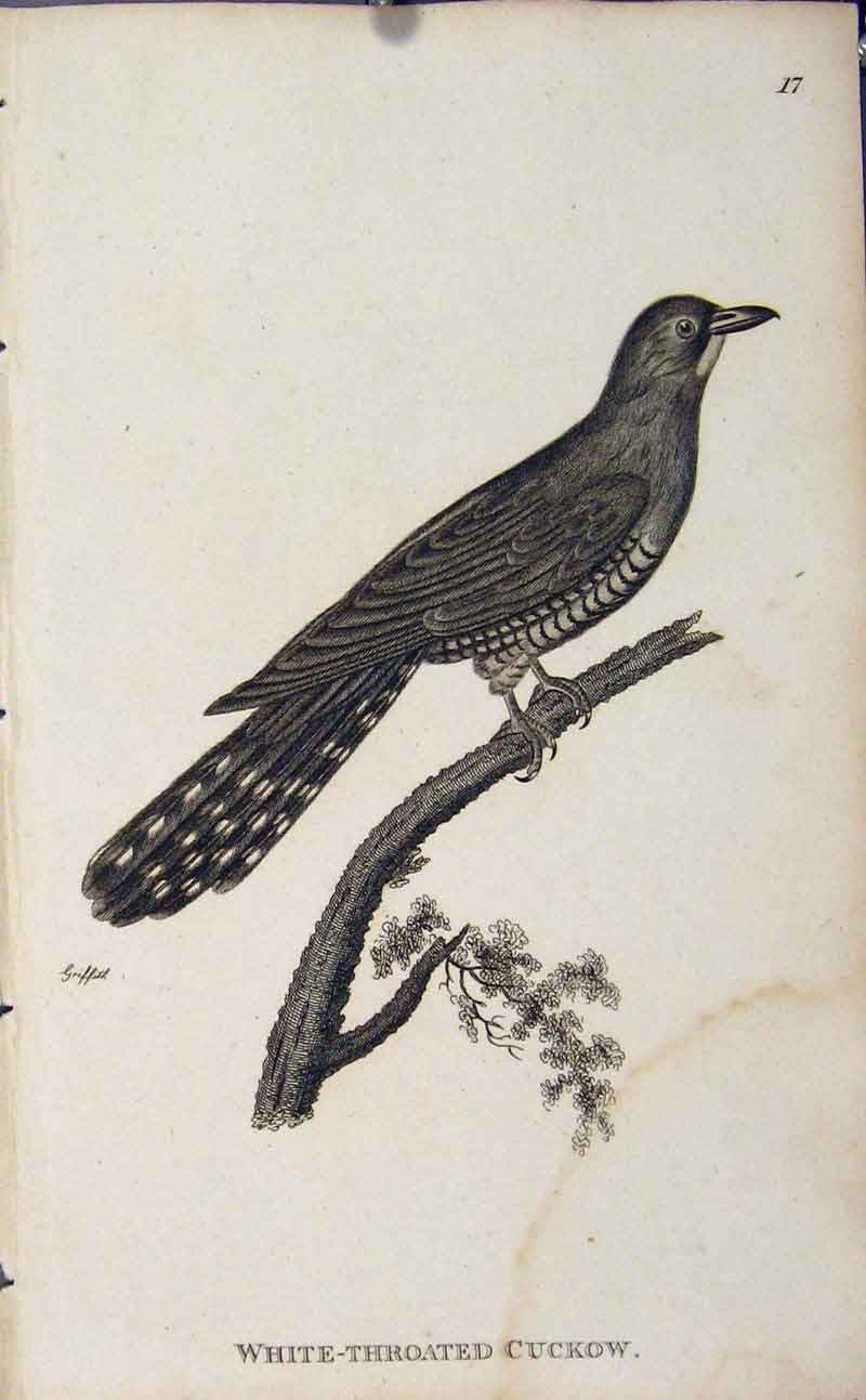 Print White Throated Cuckow Bird Copper Engraving 196631 Old Original