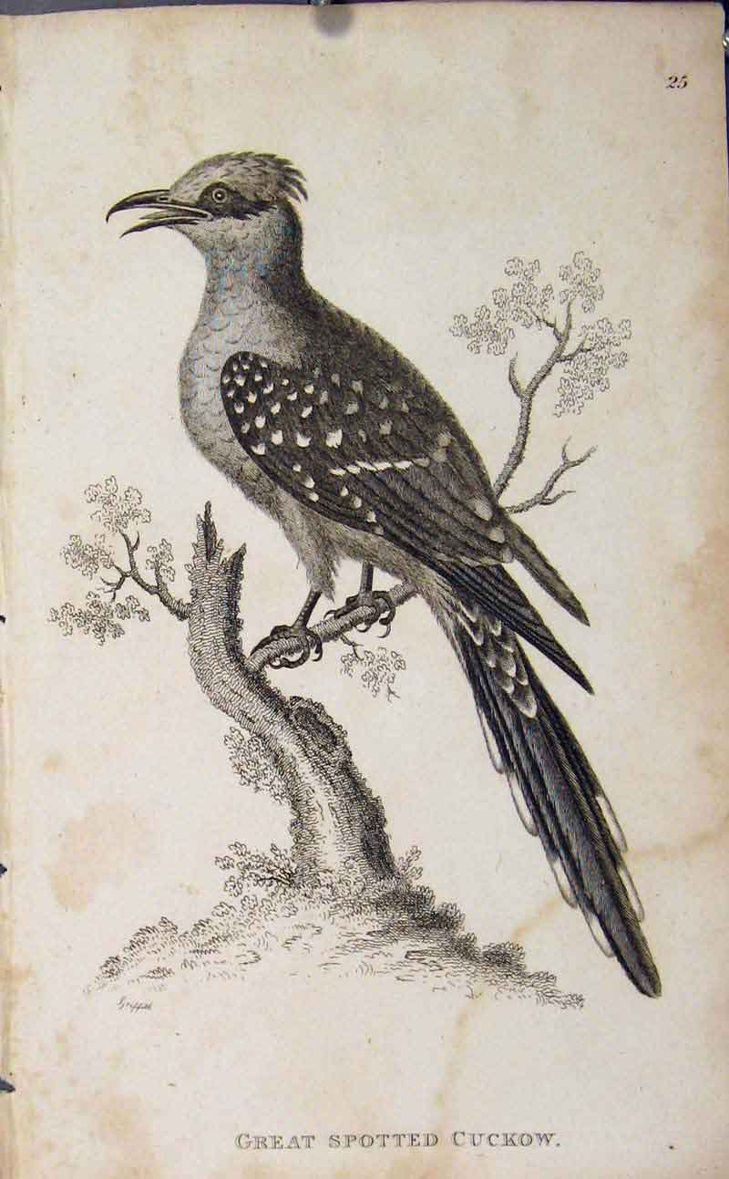 Print Great Spotted Cuckow Engraving Copper Art 276631 Old Original