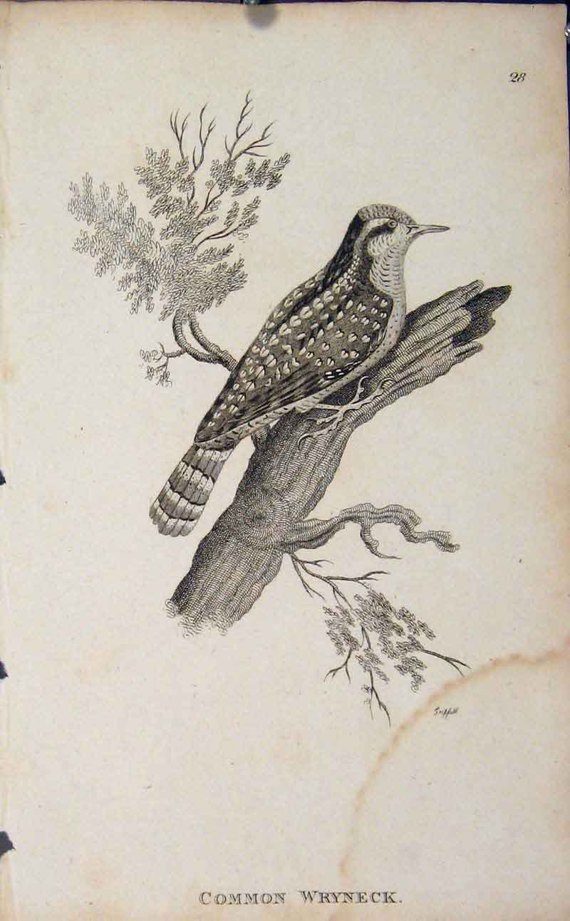 Print Common Wryneck Engaving Copper Art Birds 306631 Old Original