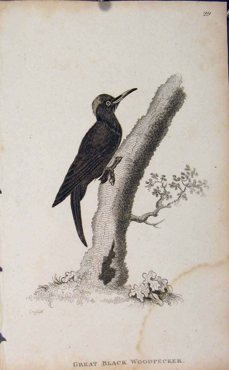 Print Birds Great Black Woodpecker Engraving 316631 Old Original