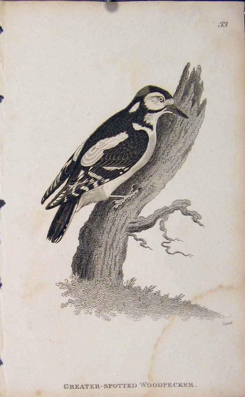 Print Greater Spotted Woodpecker Engraved Copper Art Birds 356631 Old Original