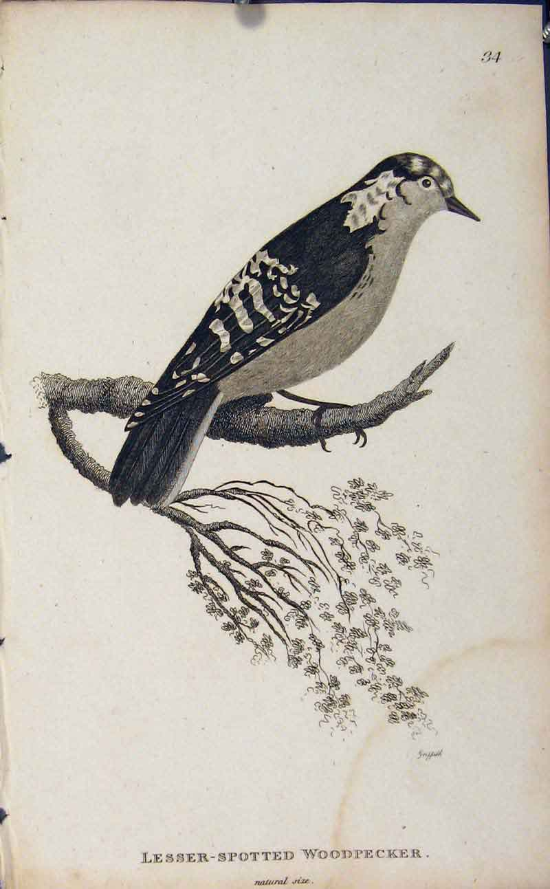 Print Birds Lesser Spotted Woodpecker 366631 Old Original