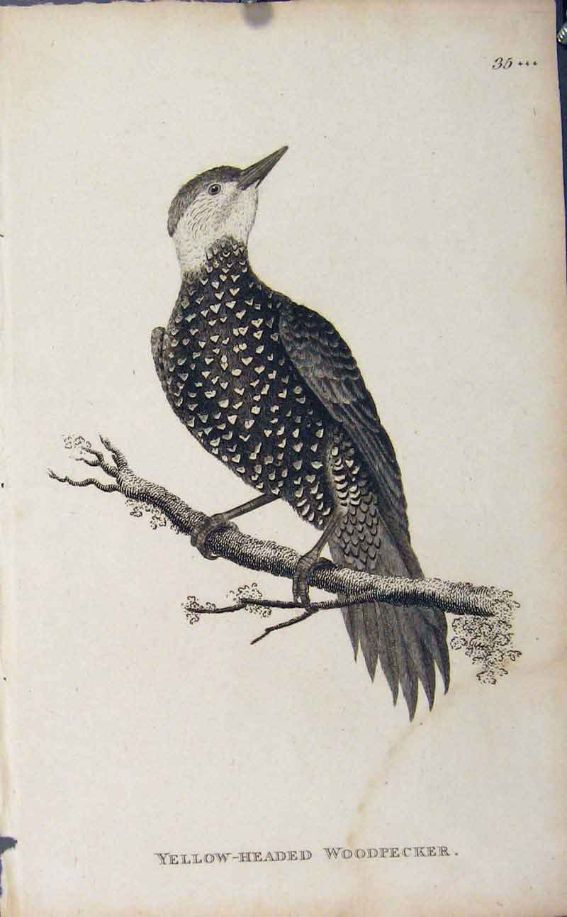 Print Birds Yellow Headed Woodpecker Engaving 406631 Old Original
