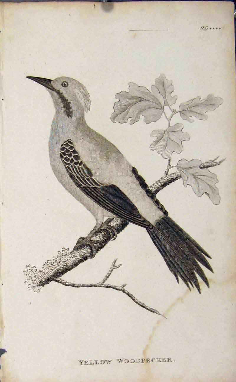 Print Yellow Woodpecker Engraving Copper Art 416631 Old Original