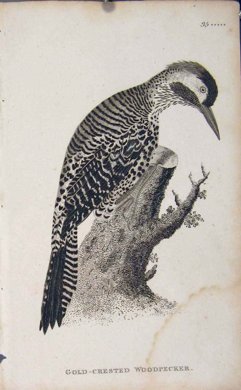 Print Bird Art Engraving Gcrested Woodpecker 426631 Old Original