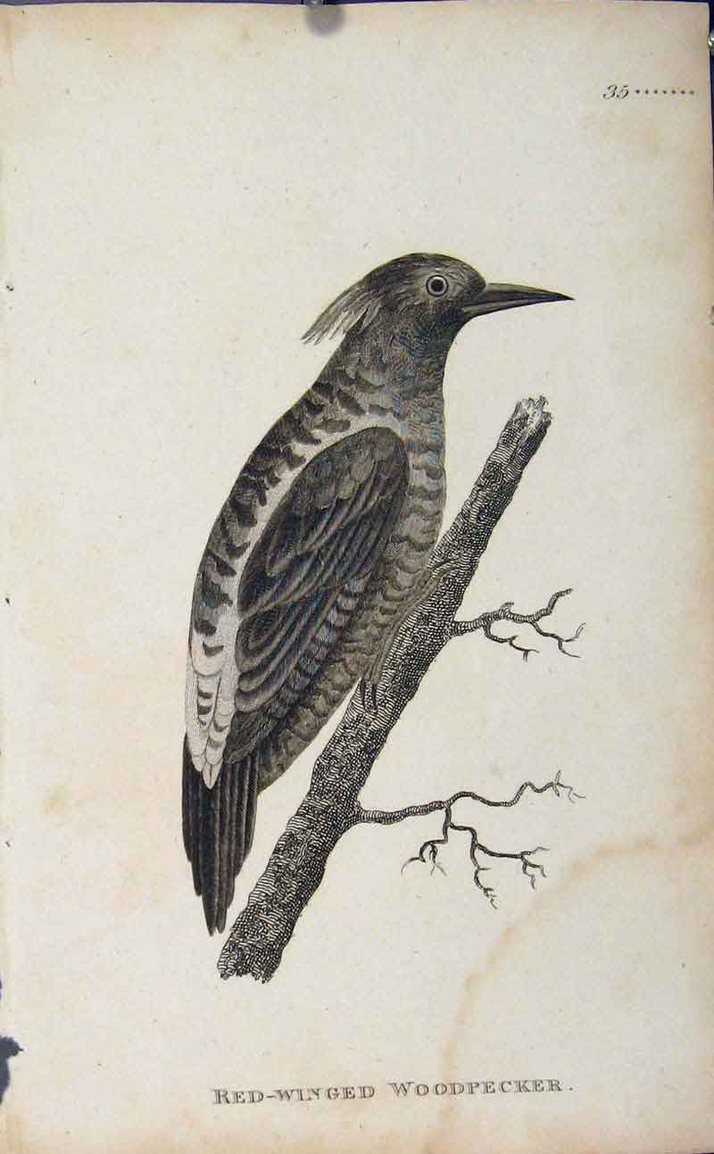 Print Red Winged Woodpecker Engraved Art 446631 Old Original