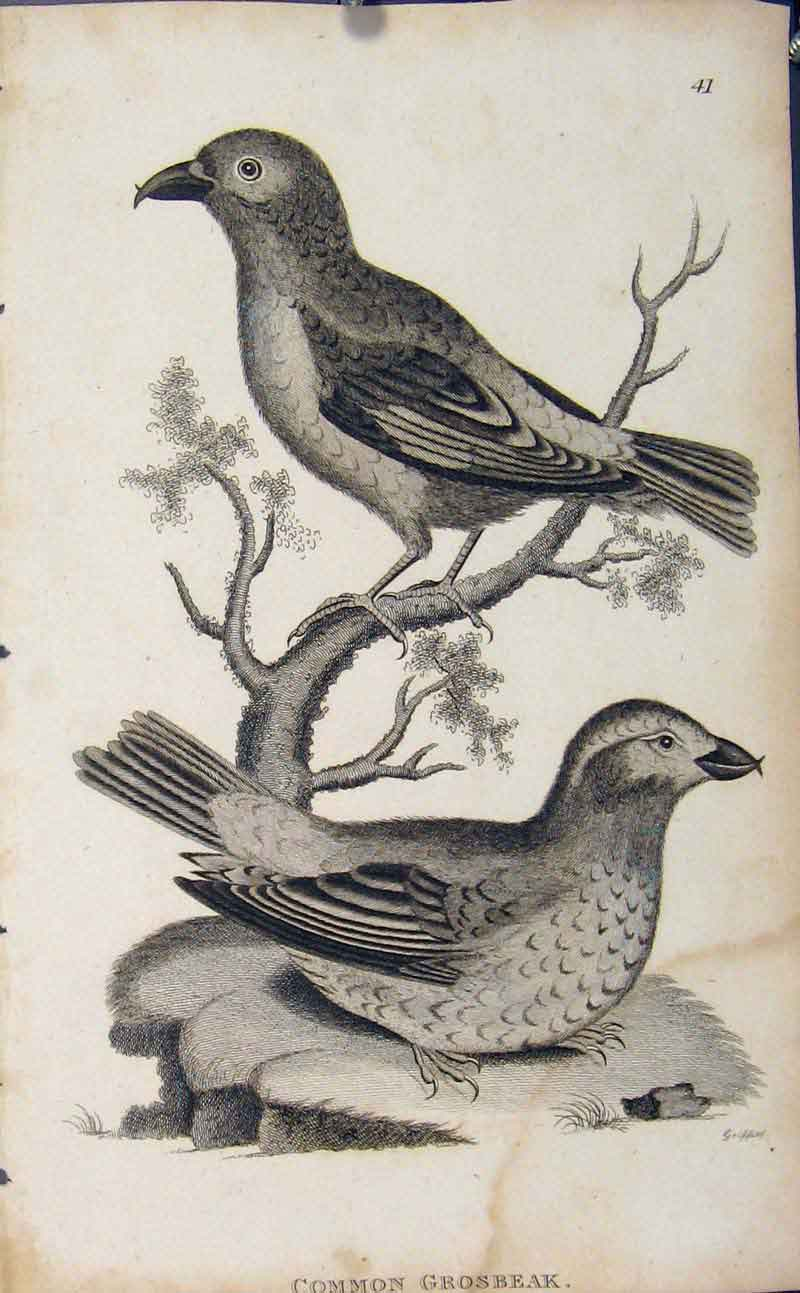 Print Common Grosbeak Copper Engraving Birds 516631 Old Original