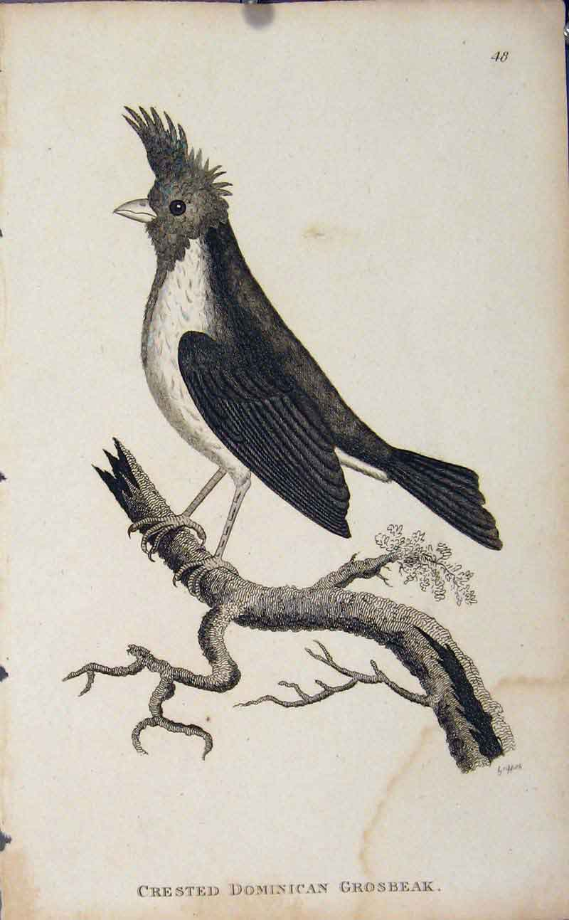 Print Crested Dominican Grosbeak Art Engraving 586631 Old Original