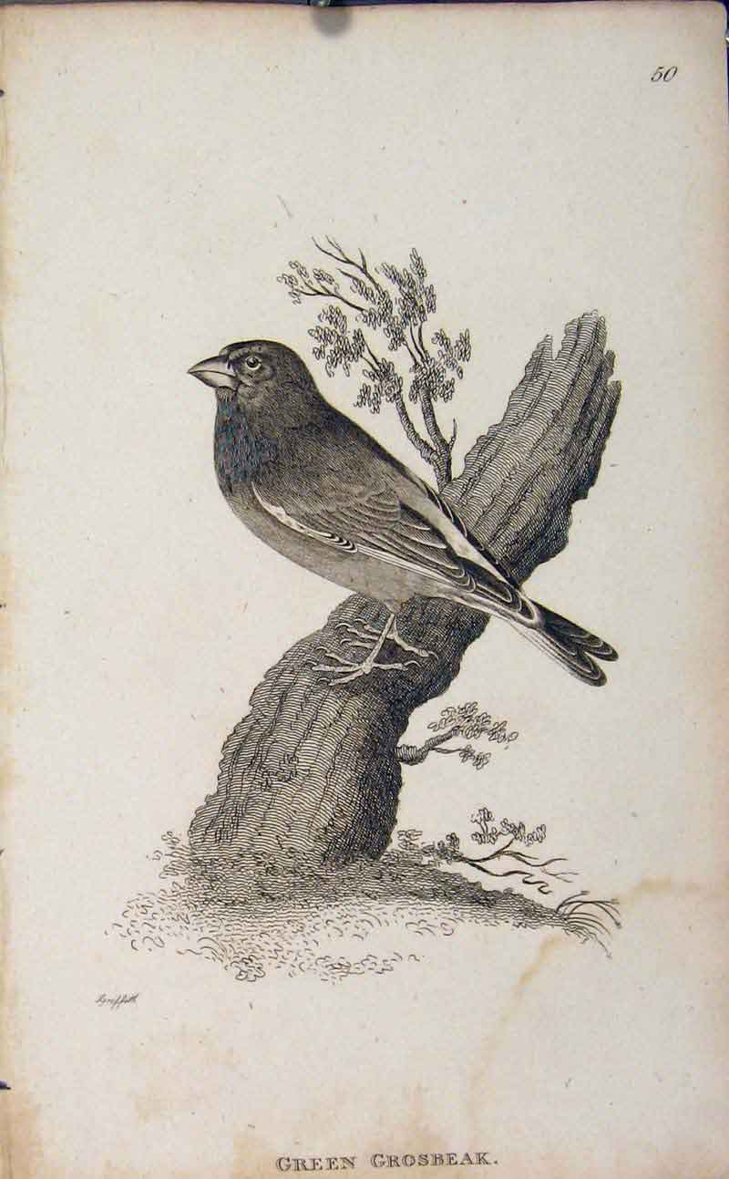Print Green Grosbeak Bird Engraved Art Copper 606631 Old Original