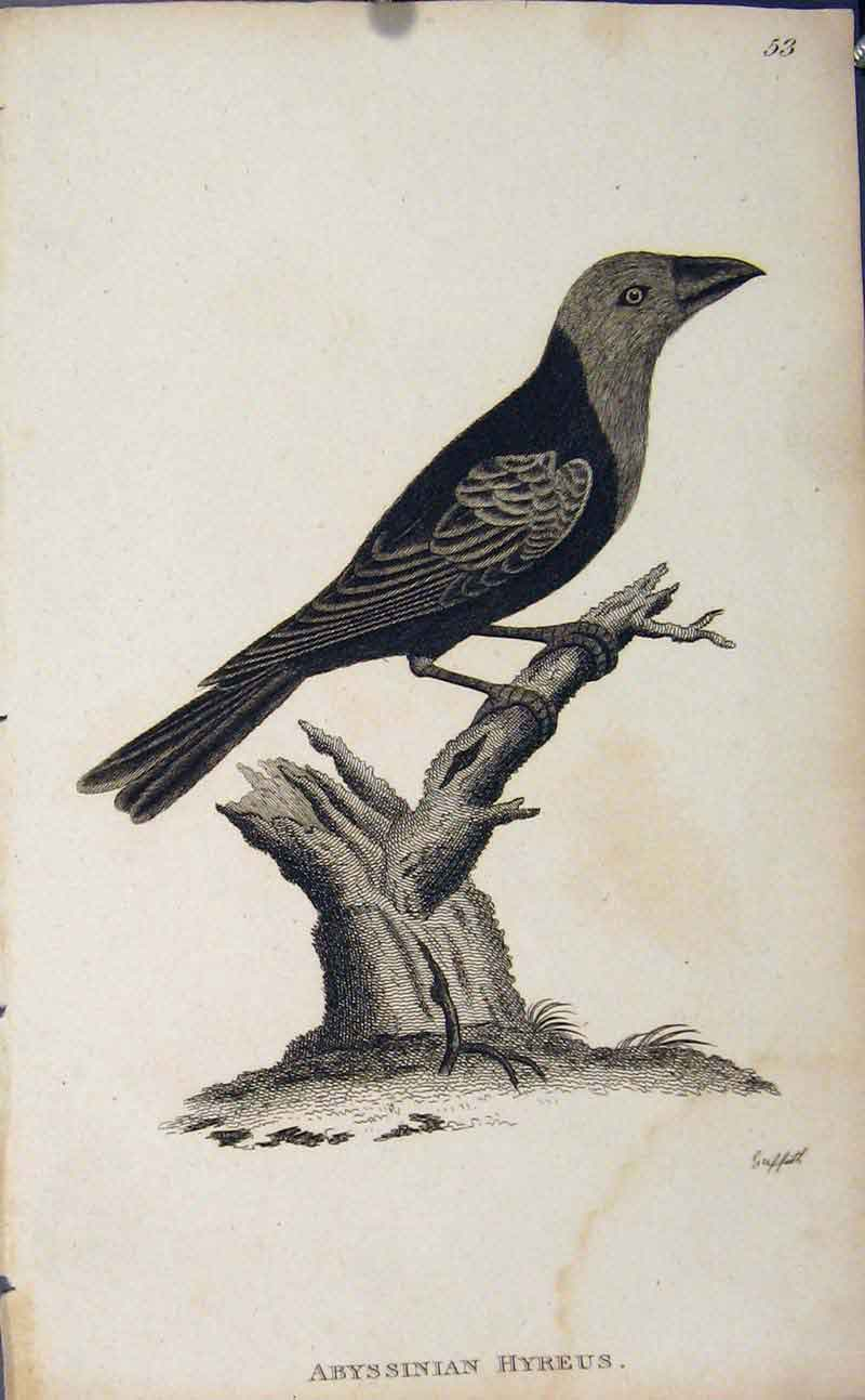 Print Fine Art Engraving Abyssinian Hyreus Bird 636631 Old Original