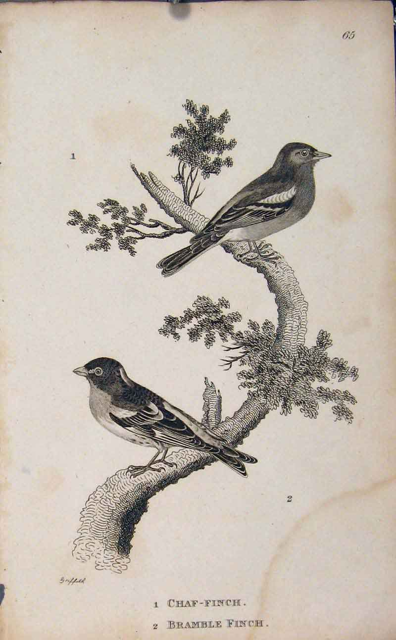 Print Chaf Finch Bramble Two Birds Perched Fine Art 756631 Old Original