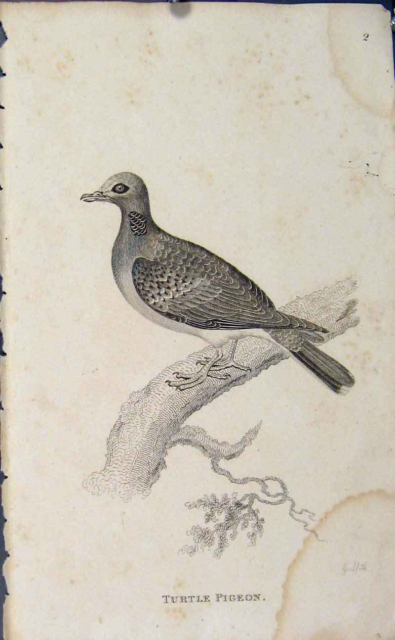Print Turtle Pigeon Fine Art Copper Engraving 826631 Old Original