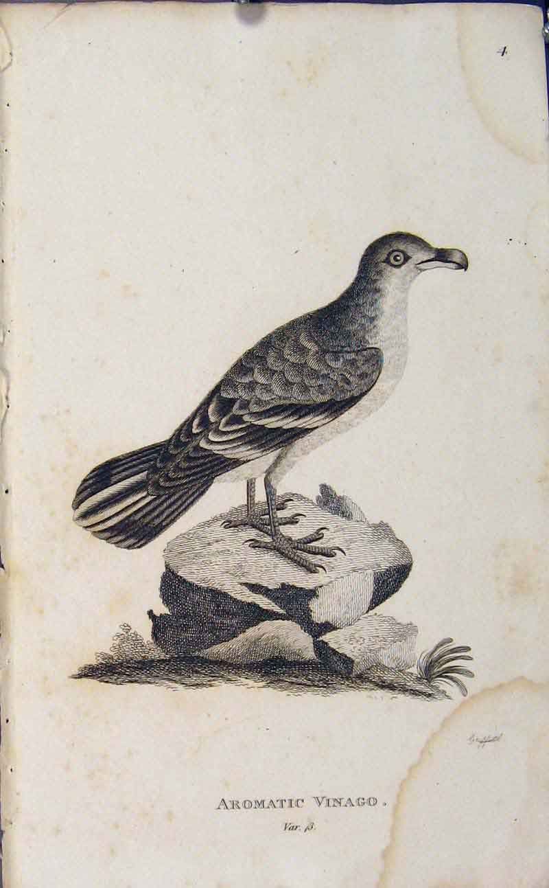 Print Copper Art Engraving Birds Aromatic Vinago 846631 Old Original