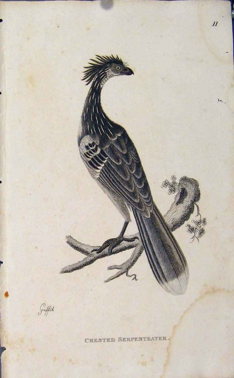 Print Copper Engraving Art Crested Serpenteater Birds 896631 Old Original