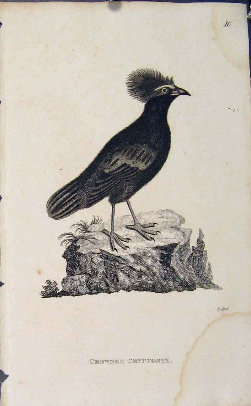 Print Copper Engraving Bird Ard Impeyan Monaylus 936631 Old Original