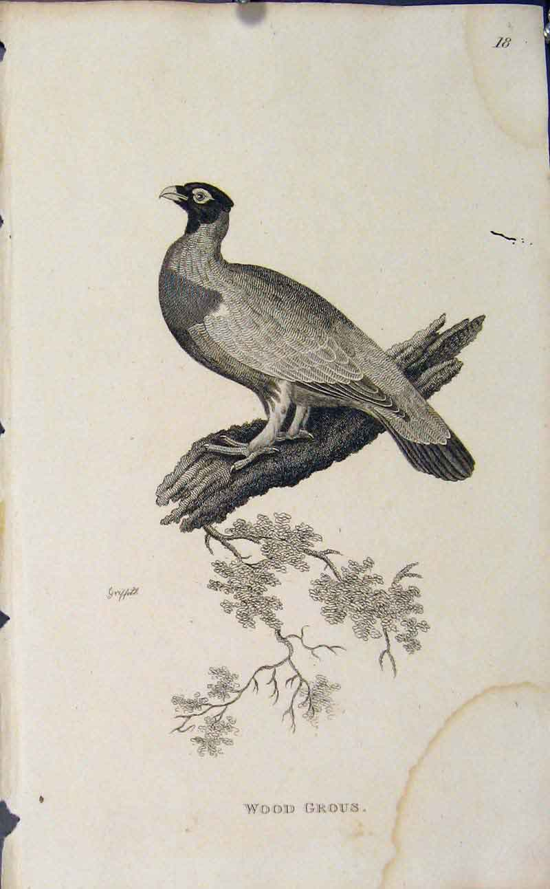Print Copper Engraving Bird Art Wood Grous 966631 Old Original