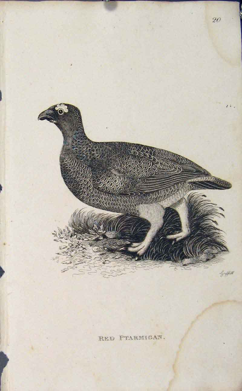 Print Red Ptarmigan Fine Art Engraving Bird Art 986631 Old Original