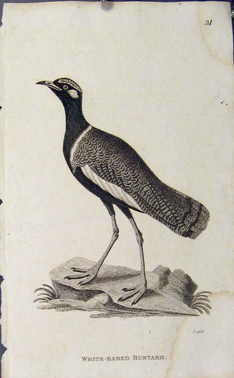 Print Copper Art Engraving White Eared Bustard 086631 Old Original