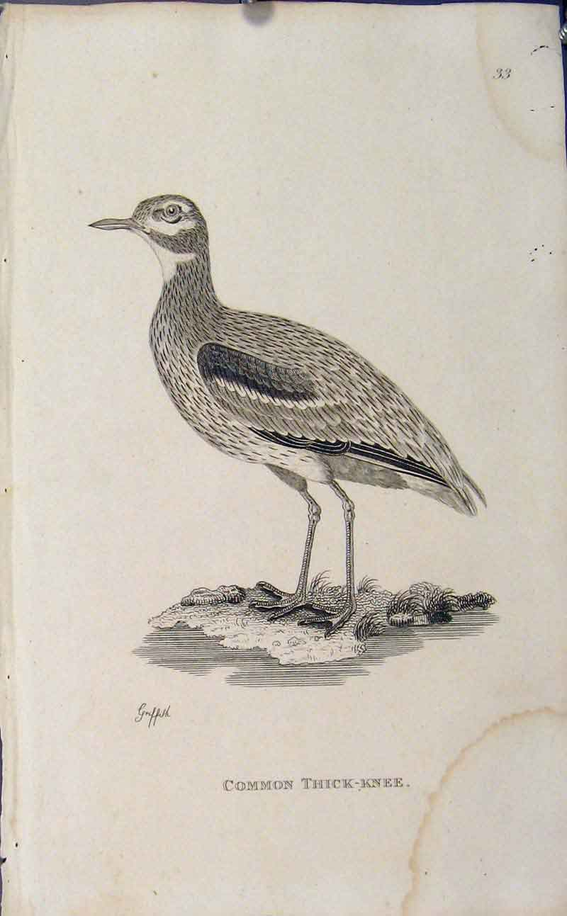 Print Engraved Art Common Thick Knee Bird 106631 Old Original