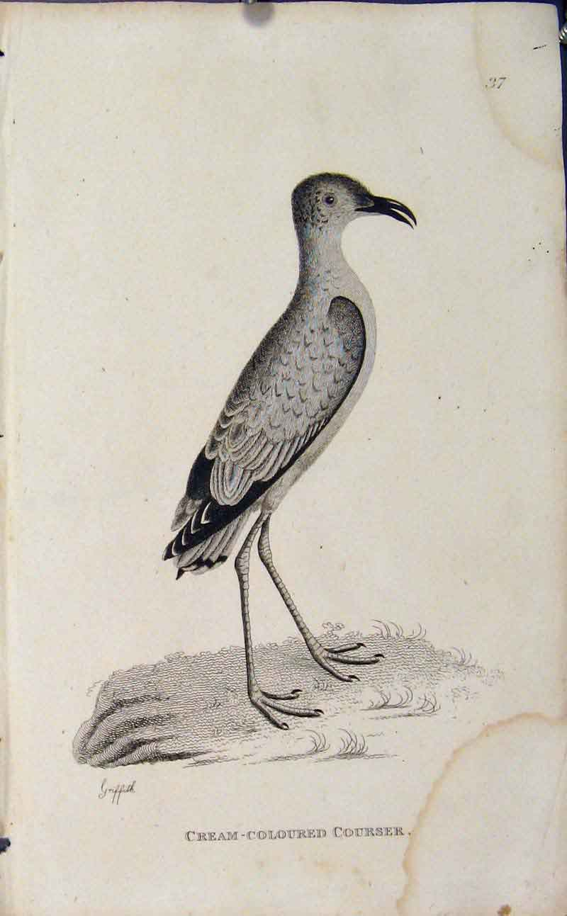 Print Engraved Bird Art Cream Colored Courser 146631 Old Original