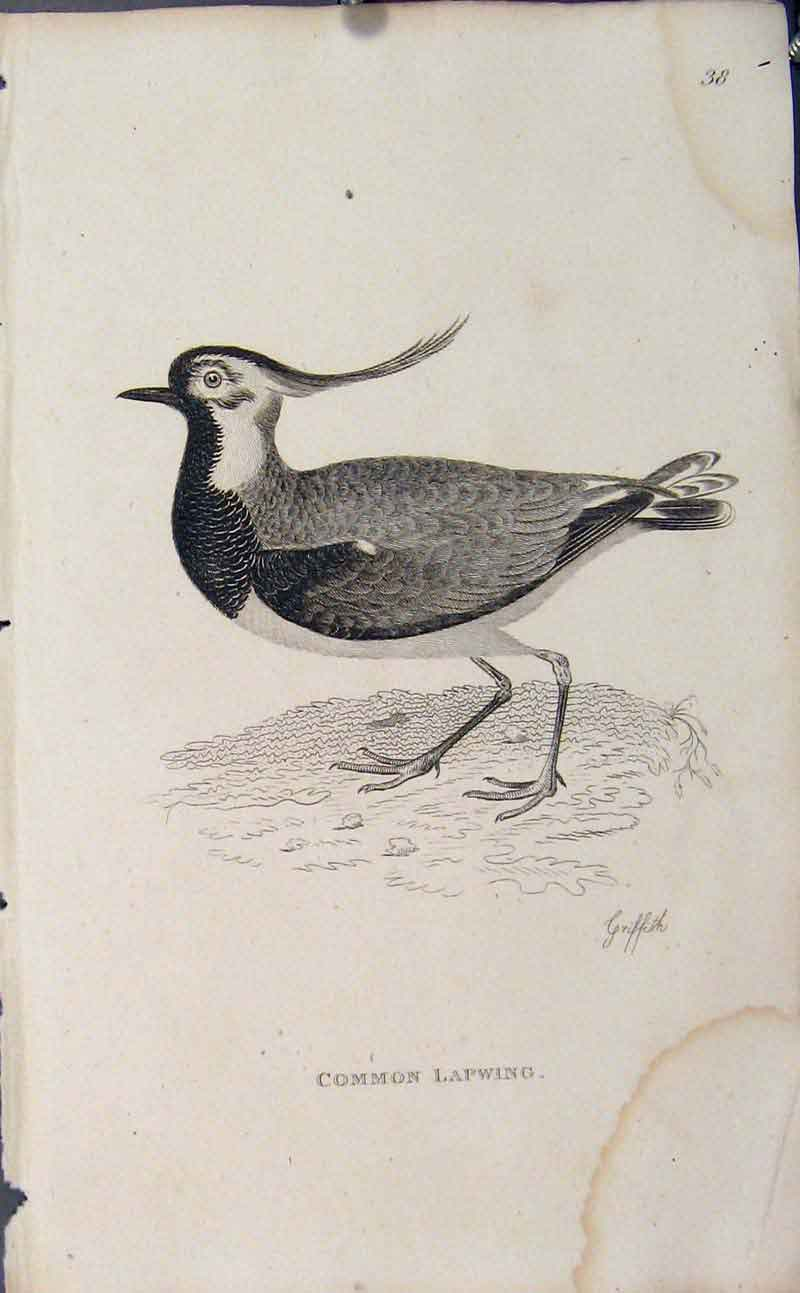 Print Engraved Bird Art Copper Common Lapwing 156631 Old Original