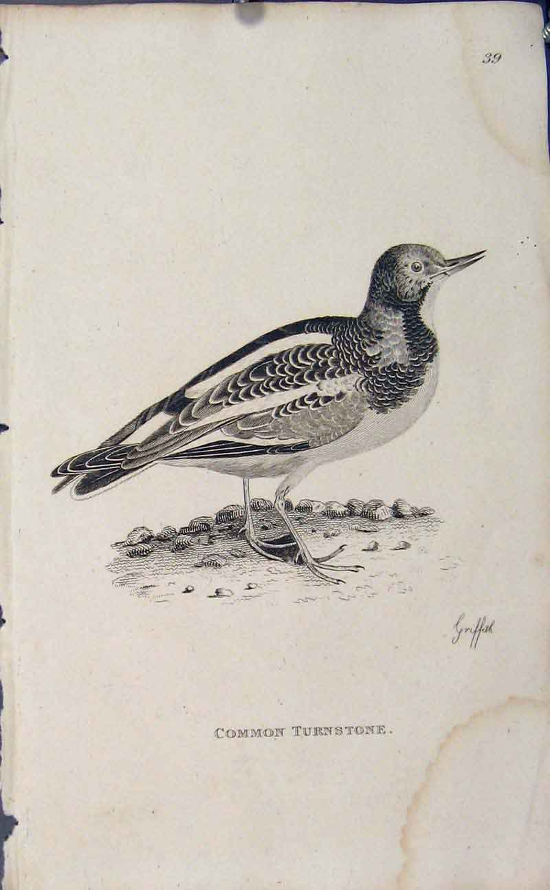 Print Engraved Copper Bird Art Common Turnstone 166631 Old Original