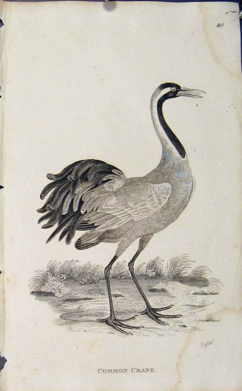 Print Engraved Copper Art Common Crane Birds 176631 Old Original