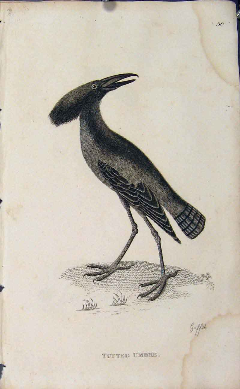 Print Crested Boatbill Engraving Copper Bird 286631 Old Original