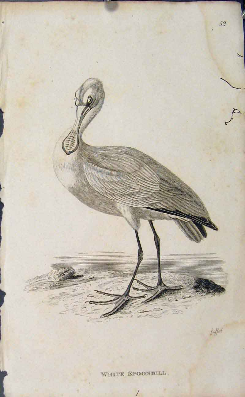Print White Spoonbill Engraving Copper Art Bird 296631 Old Original