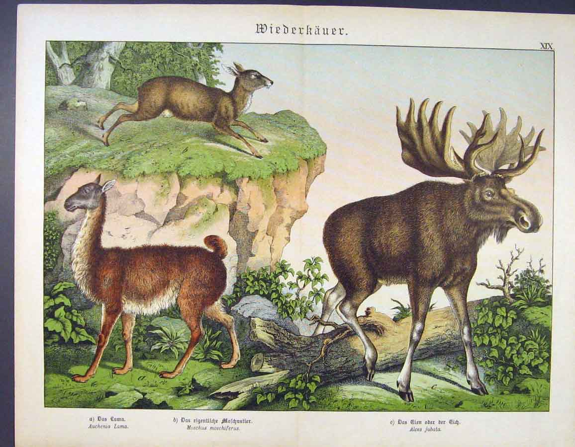 Print German Color Art Moose Deer Buck Lama 126681 Old Original