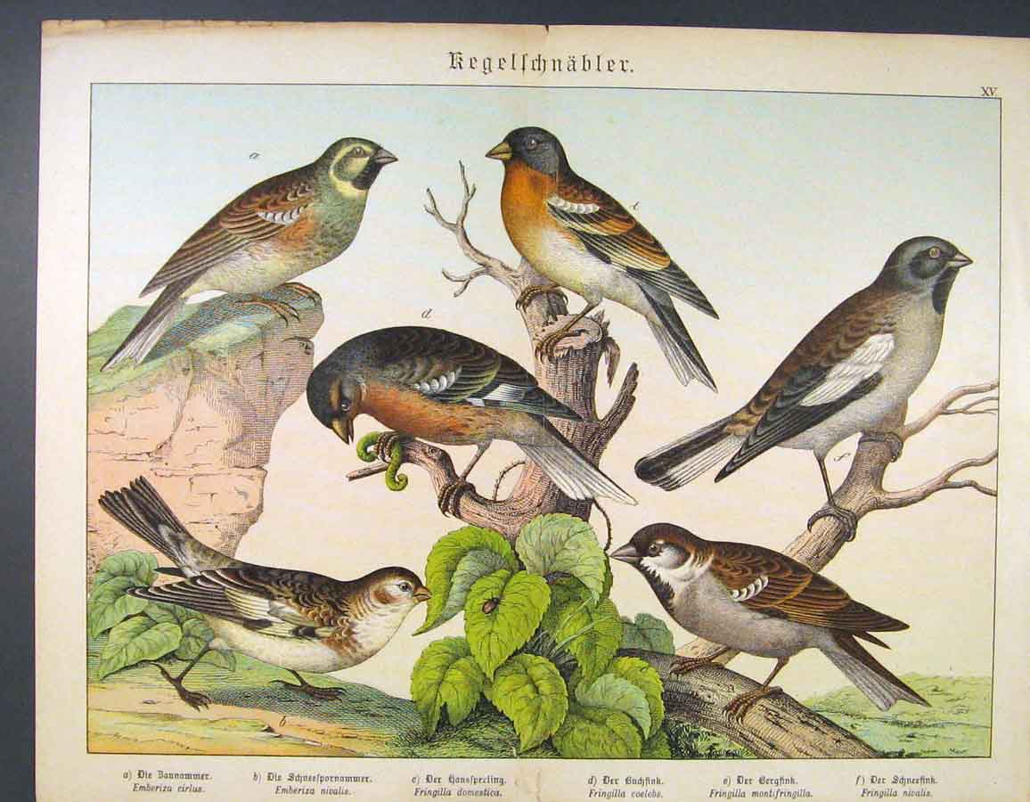 Print German Color Fine Art Birds C1880 166681 Old Original