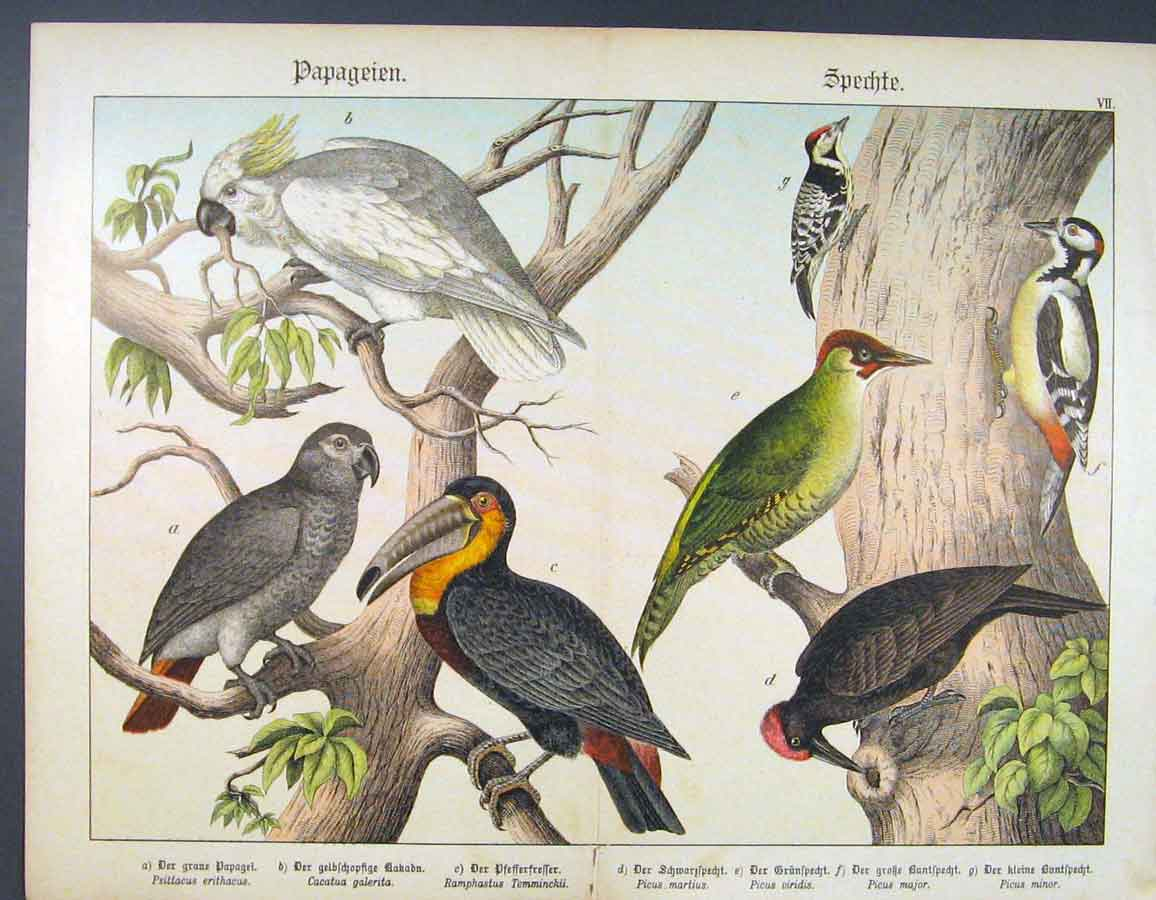 Print Bird Spieces Color German Papagie Buggie 246681 Old Original