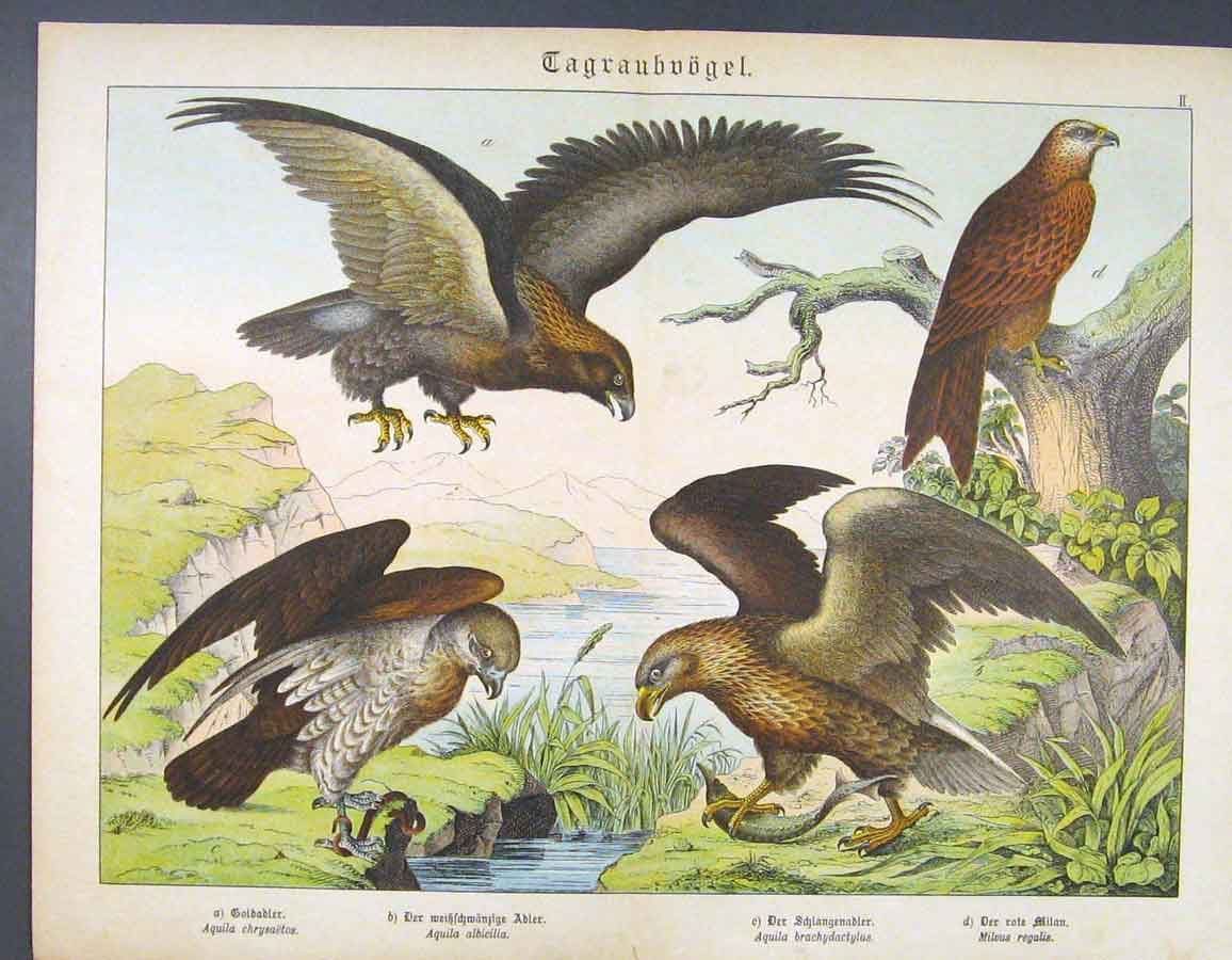 Print Eagle Fish Eating Feeding Bird Crested German Color Art 296681 Old Original