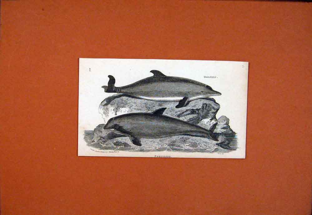 Print Dolfin Porpesse Fine Art C1890 Sea 516781 Old Original
