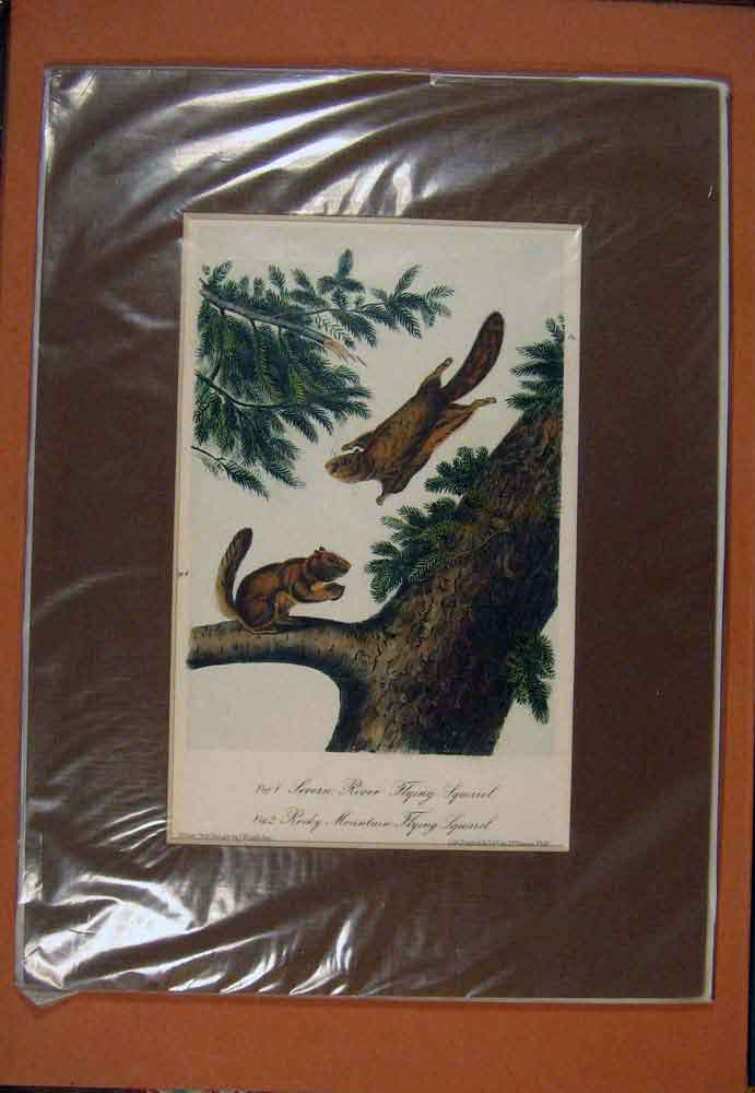 Print Severn River Flying Squrrel Rocky Mountian 906781 Old Original