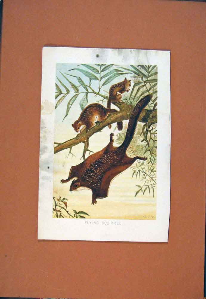 Print Flying Squirrel C1890 Colored Art 986781 Old Original
