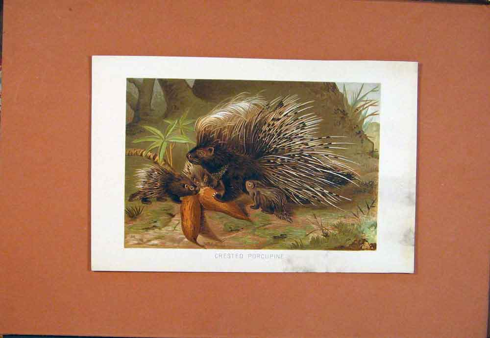 Print Crested Porcupine Colored Animal C1890 996781 Old Original