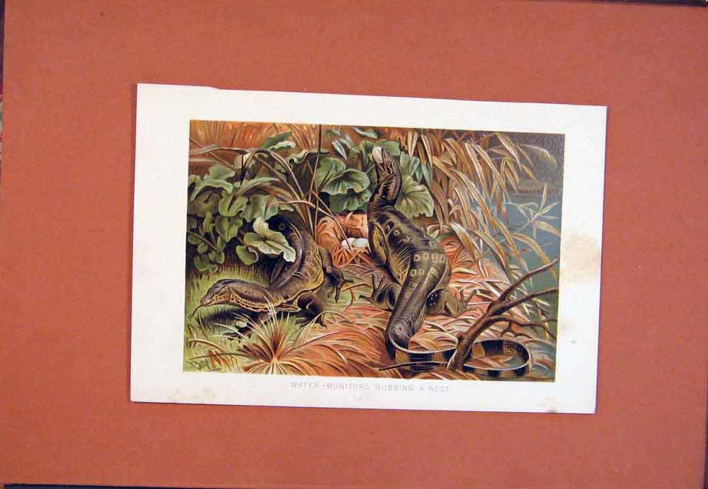Print Water Monitors Robbing Nest Colored 1890 086781 Old Original