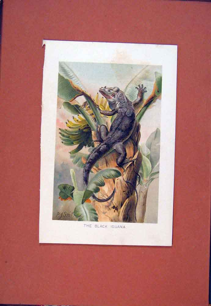 Print Colored Fine Art Black Iguana C1890 096781 Old Original