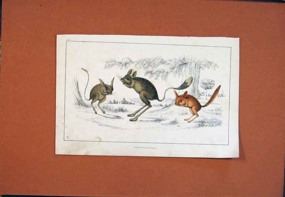 Print Mouse Rodent Hand Colored Fine Art 246781 Old Original