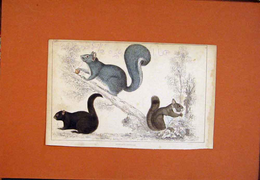 Print Squirrel Grey Red Borwn Common C1850 Color Hand 306781 Old Original