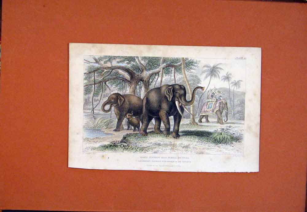 [Print Elephant Asian Caparisones Youn Male Female Hand Color 346781 Old Original]