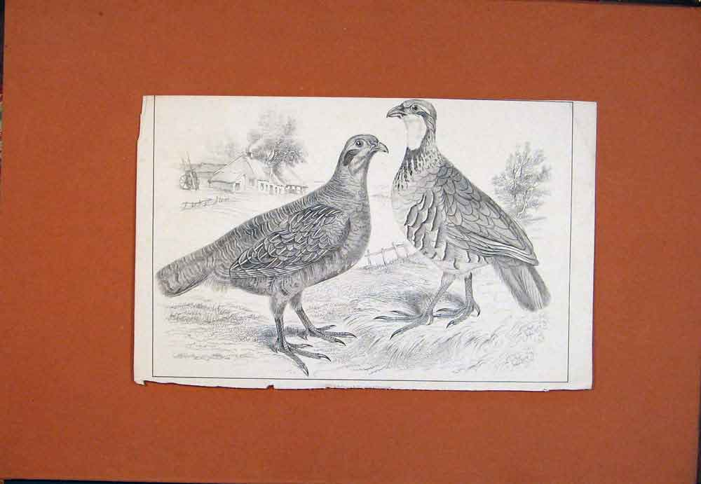 Print C1850 Two Birds Partrige Fowl Fine Art 536781 Old Original