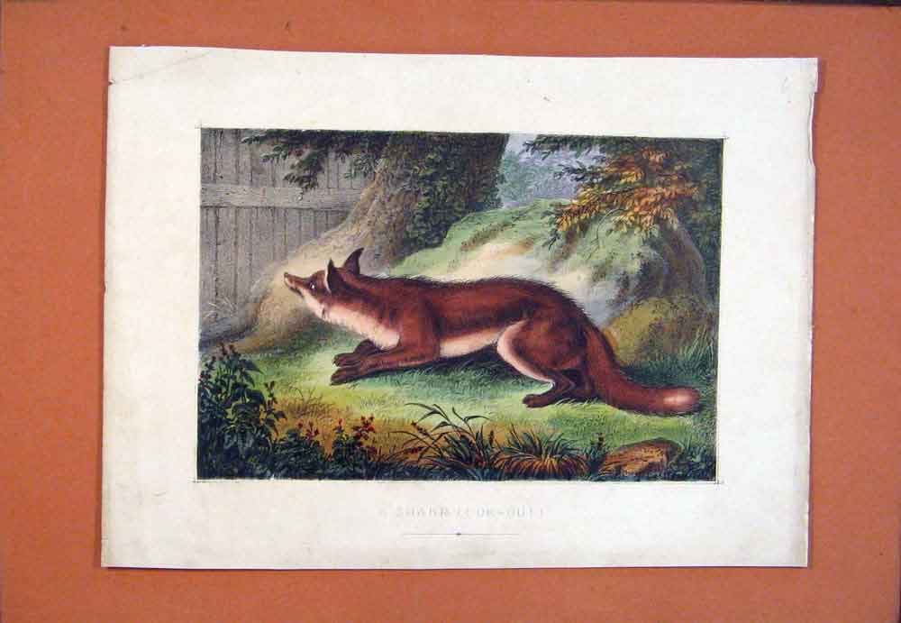 Print Fox Sharp Look Out Color Fine Art 316781 Old Original
