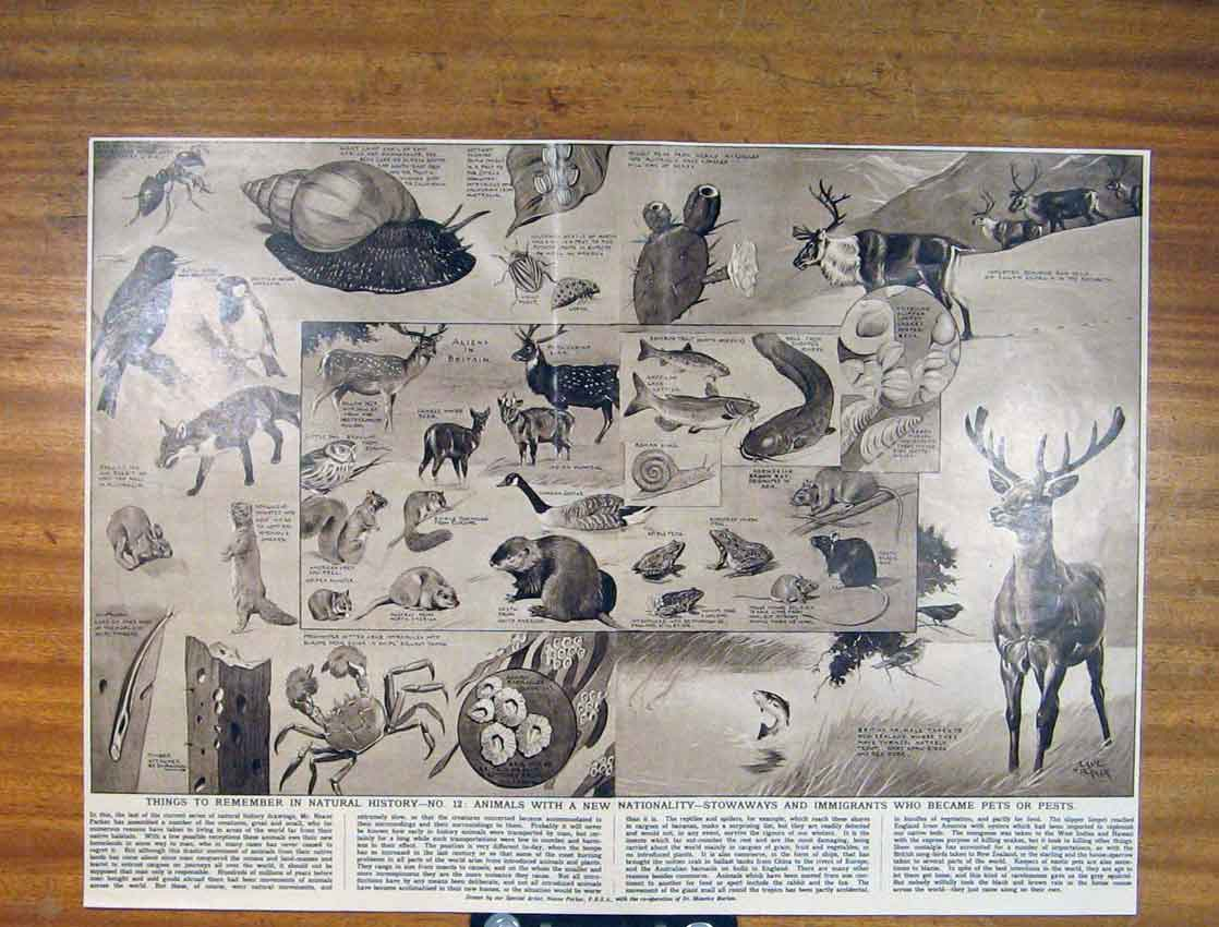 Print Nautral History Animals Fine Art 1930 506791 Old Original