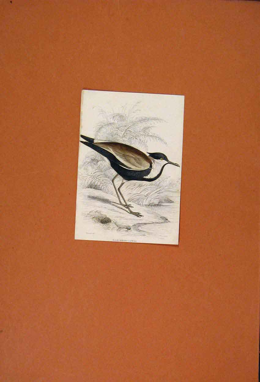 Print Hand Colored Black Bodied Lapwing Bird 126821 Old Original