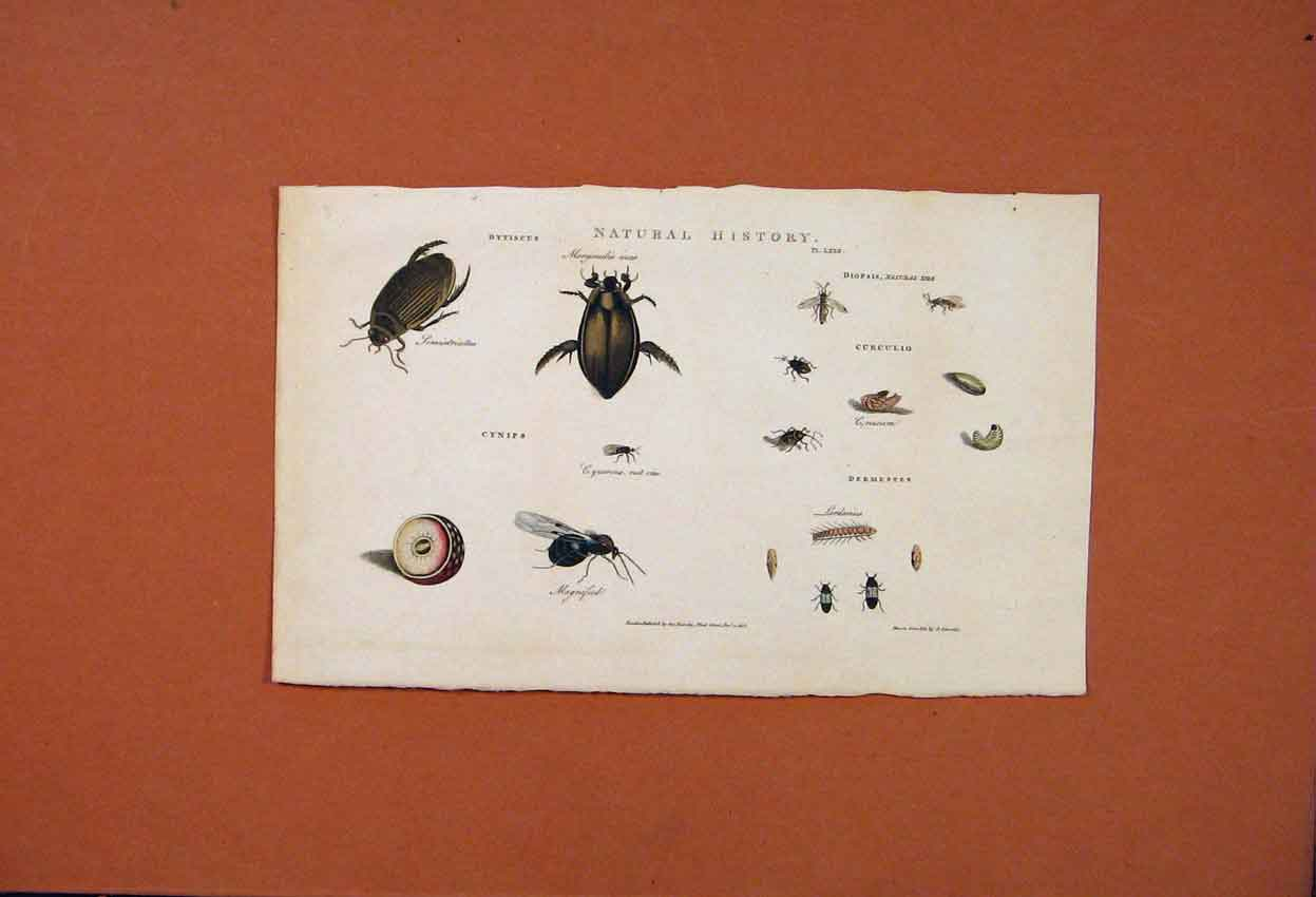Print Natural History Bugs Beetle Insect Ant Fly 226821 Old Original