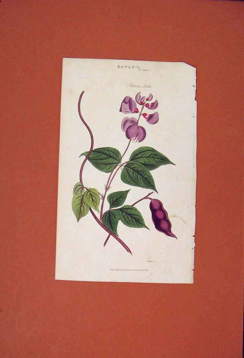 Print Botany Flower Plant Dolichos Lablab Color 836821 Old Original