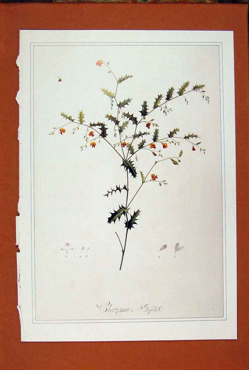 [Print Chorisema Flower Holly Plant Color Art Fine 806871 Old Original]